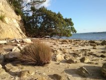 Classic Auckland pohutukawa tree